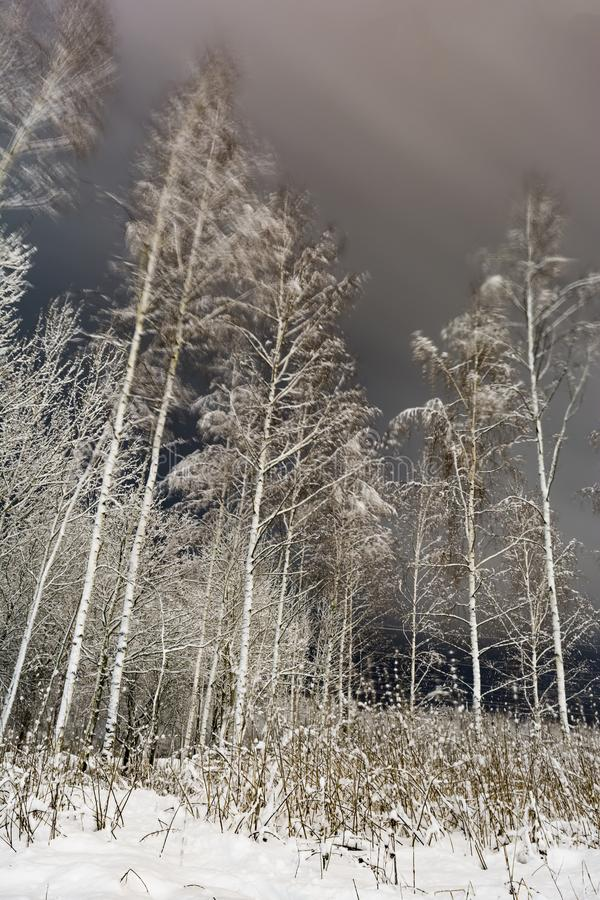 White trunks of birches and branches are covered with snow, winter forest at night stock images