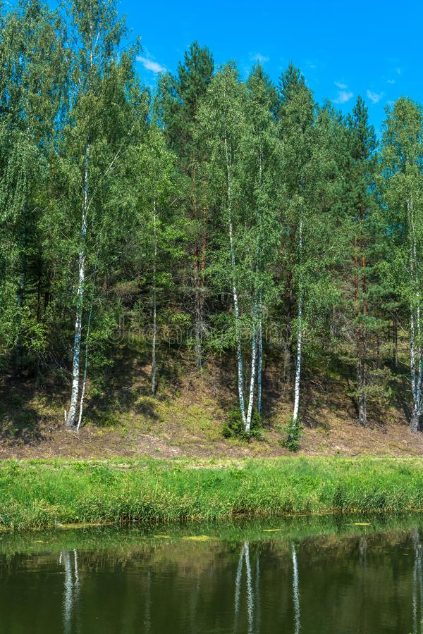 White trunks of birches are reflected in water. Slender white trunks of birches are reflected in the water of the river in a summer sunny day royalty free stock photos