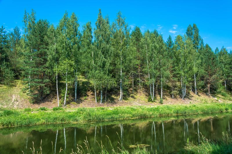 White trunks of birches are reflected in water. Slender white trunks of birches are reflected in the water of the river in a summer sunny day royalty free stock images