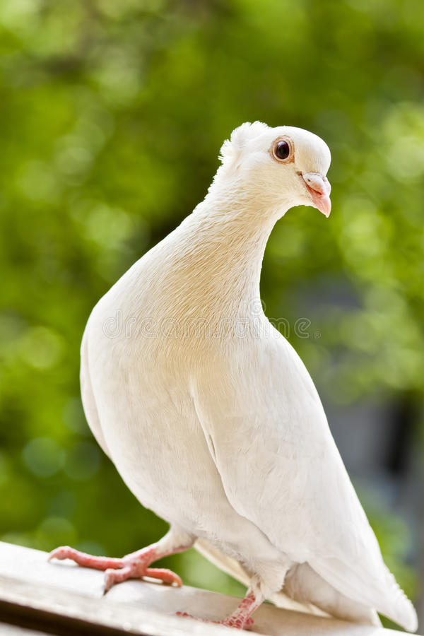 White tufted pigeon stock photography