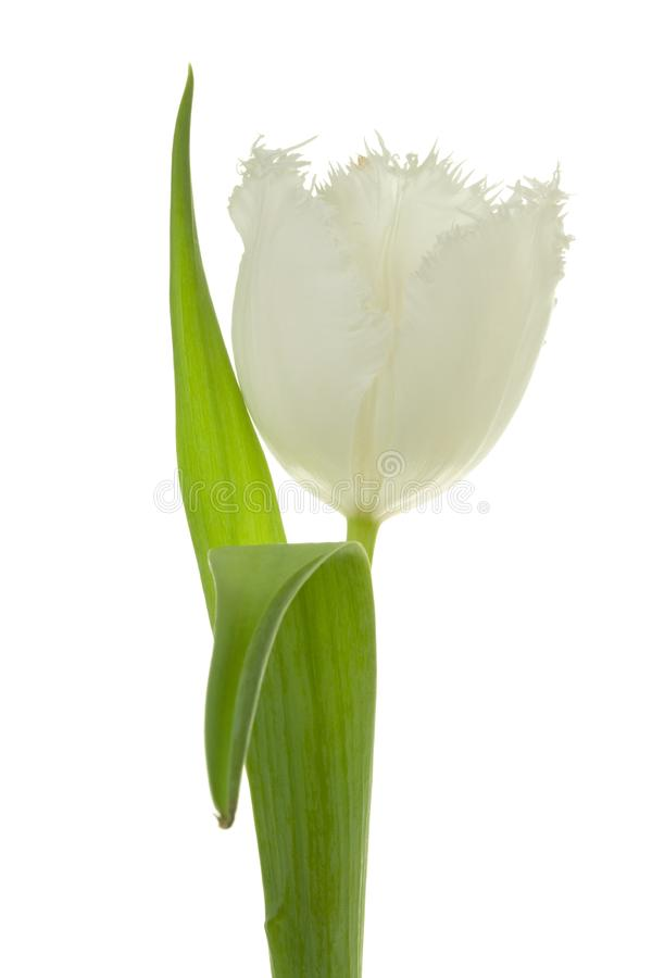 Download White tulip. stock photo. Image of white, leaf, plant - 8661004