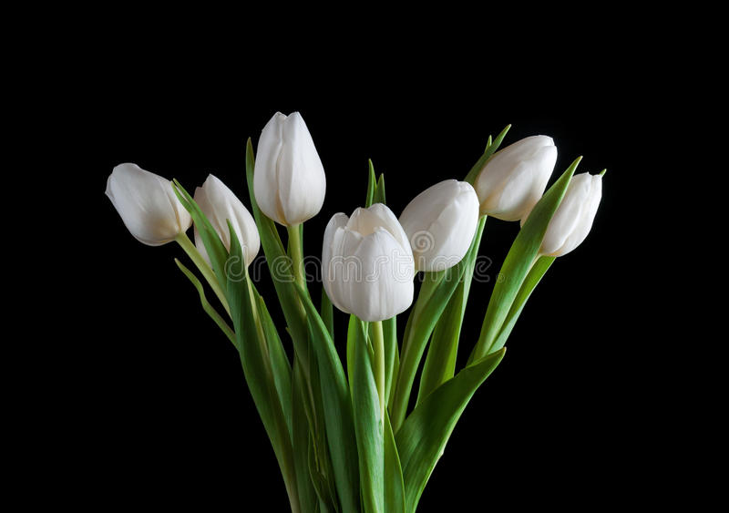 Download White Tulip On Black Background Stock Image - Image: 29195977