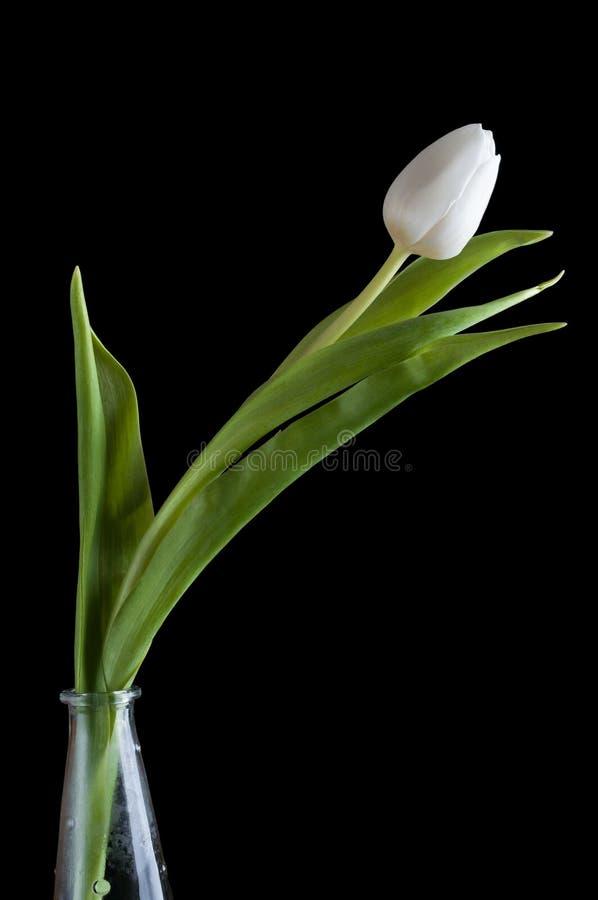 Download White Tulip On Black Background Stock Photo - Image: 29195982
