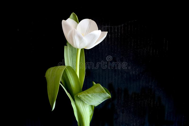 White tulip on a black background. a delicate tulip flower with white petals and bright green leaves on a dark background. royalty free stock image