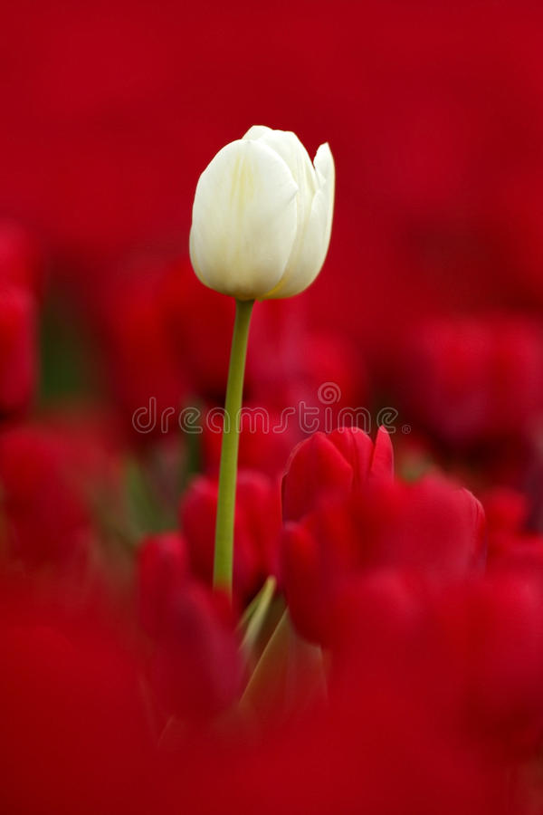 White tulip bloom, red beautiful tulips field in spring time with sunlight, floral background, garden scene, Holland, Netherlands. Europe royalty free stock photo
