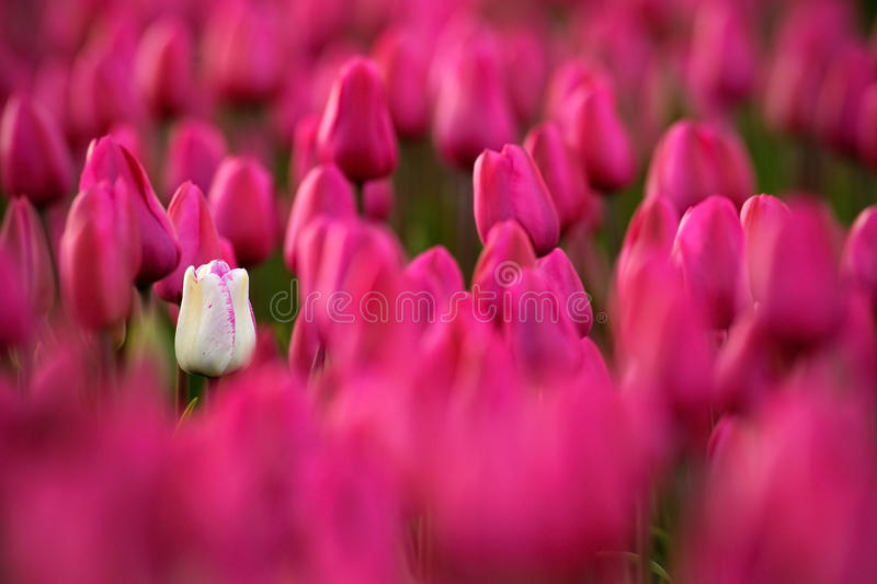 White tulip bloom, Red beautiful tulips field in spring time with sunlight, floral background, garden scene, Holland, Netherlands. Europe royalty free stock images