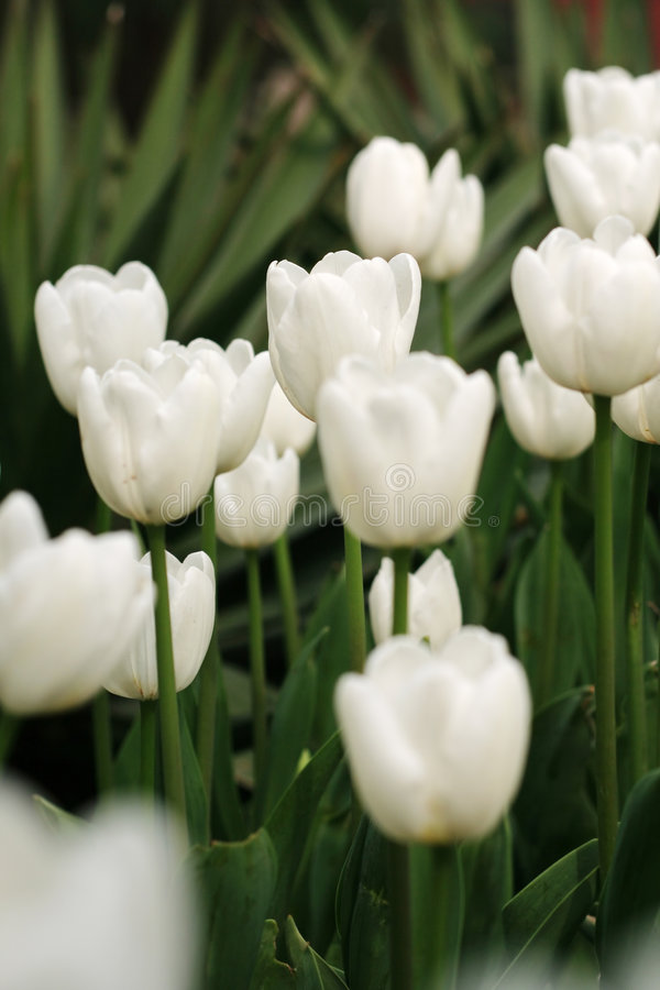 White tulip flower royalty free stock photo