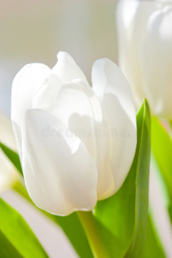 White Tulip Flower Stock Photos