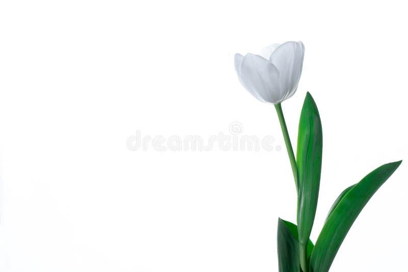 White Tulip Flower. Isolated on the white background stock photos