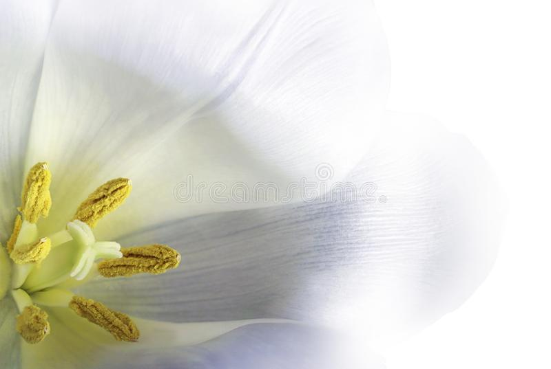 White tulip flower. Floral background. Closeup. White tulip flower. Macro. Floral background. Nature stock photo