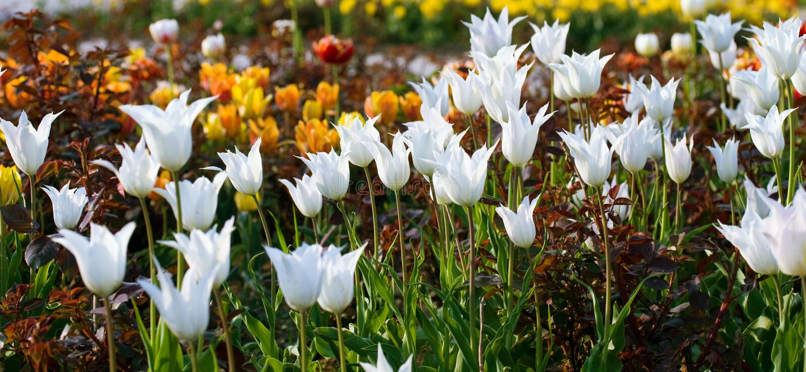 Download White  tulip flowers. stock image. Image of meadow, bloom - 12493781