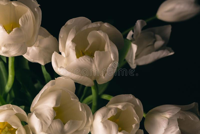 White Tulip flowers on black background, macro photo stock photography