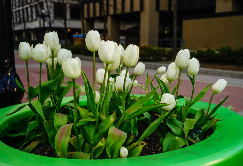 Tulip flowers blooming on street royalty free stock photography