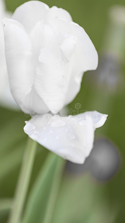 White tulip after rain royalty free stock photography