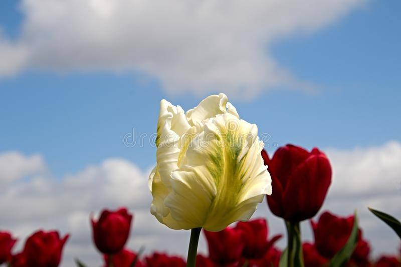 White tulip and red tulips royalty free stock photo