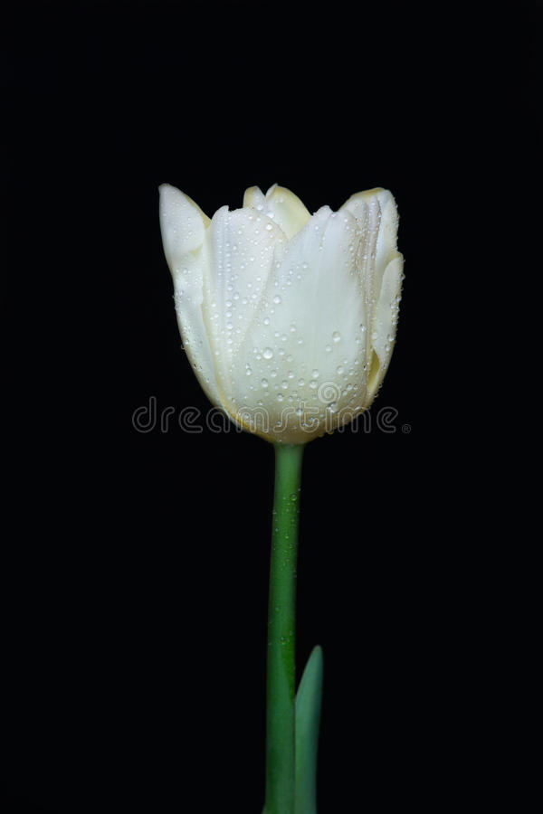 Free White Tulip With Dew-drops Stock Photo - 29896980