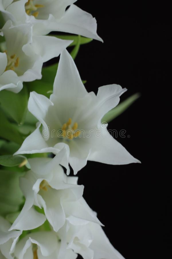 White tulips from above royalty free stock photos