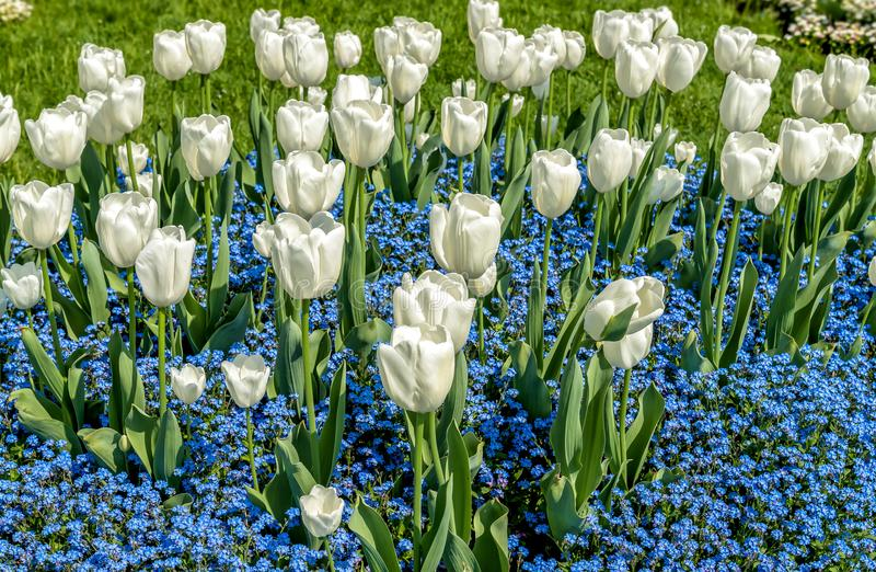 White tulips with Alpine Forget-Me-Not Blue Flowers in spring time. royalty free stock images