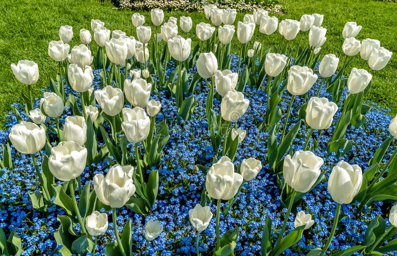 White tulips with Alpine Forget-Me-Not Blue Flowers in spring time. royalty free stock photo