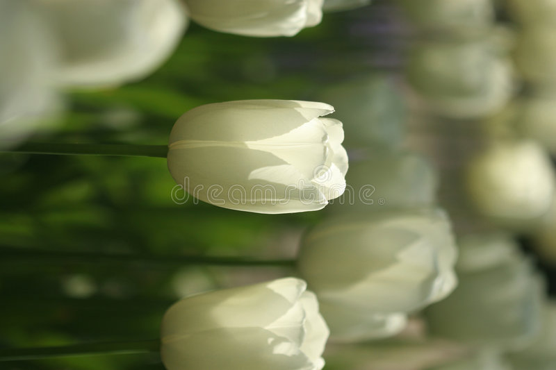 White tulips - backlighted royalty free stock images