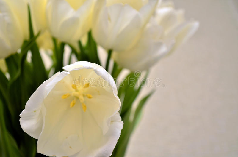 White tulips royalty free stock images