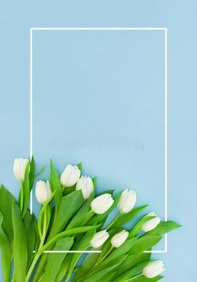 White tulips on blue background with frame, flower postcard for Women`s Day, Mother`s Day or sale concept. Floral spring stock photography