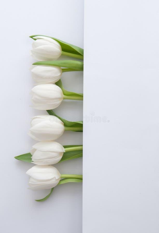 White tulips border vector illustration