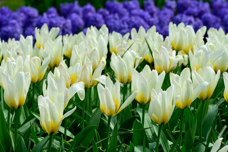 White tulips close up in Holland , spring time colourful flowers stock photo