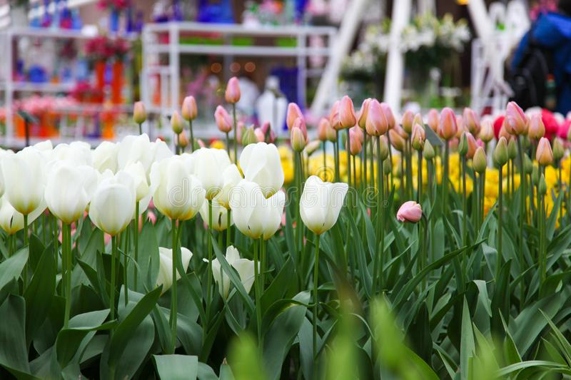 White tulips close-up in the Netherlands in Keukenhof stock photography