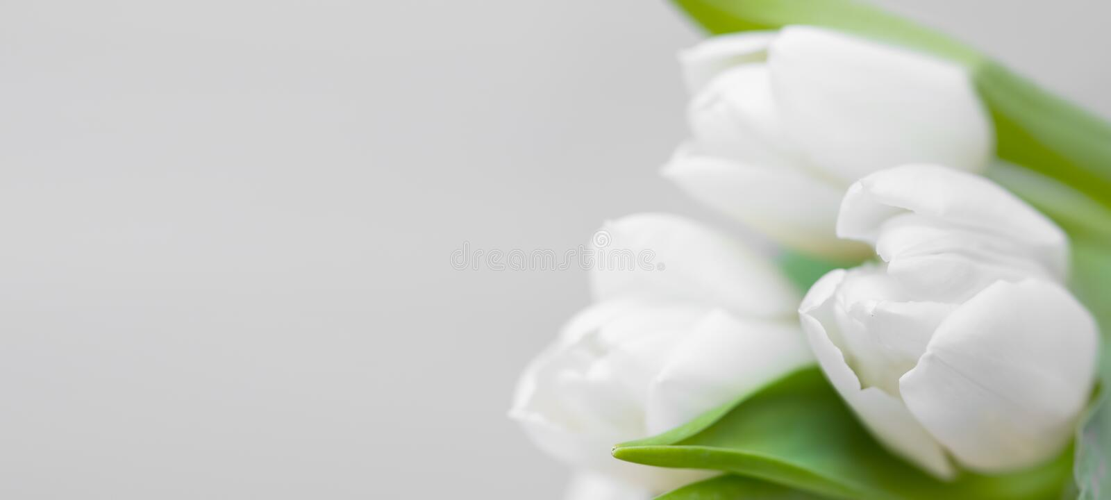 White tulips with copy space, beautiful floral greeting sprintime mother`s day card stock photography