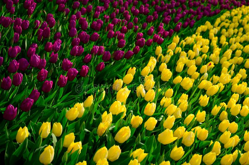Yellow and paurple tulips close up in Holland , spring time flowers in Keukenhof stock images