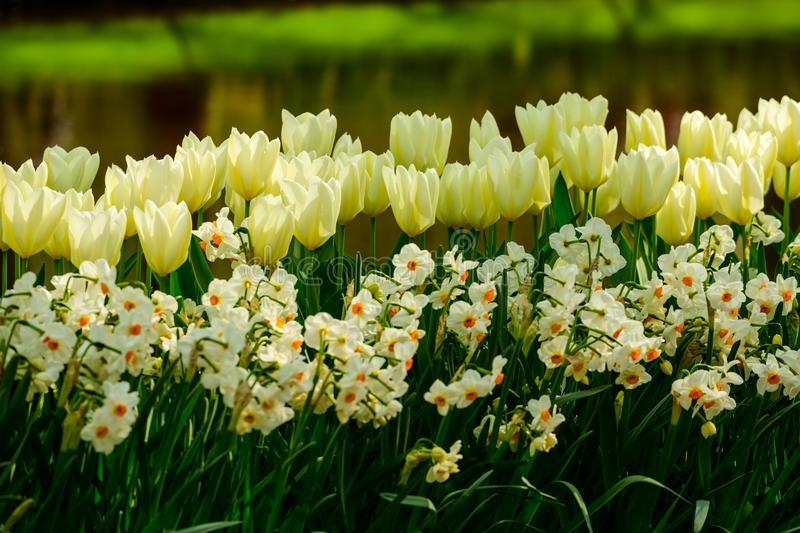 White tulips and daffodil close up in Holland , spring time flowers in Keukenhof stock photo