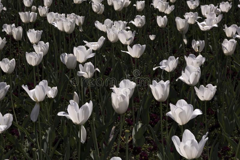 White tulips field. Field of the white tulips royalty free stock photography