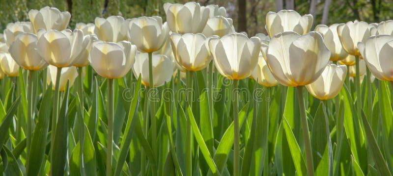 White tulips field details of keukenhof garden stock photos