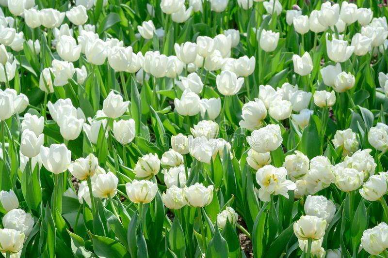 White Tulips in Flowerbed, flowering white tulips in spring stock image