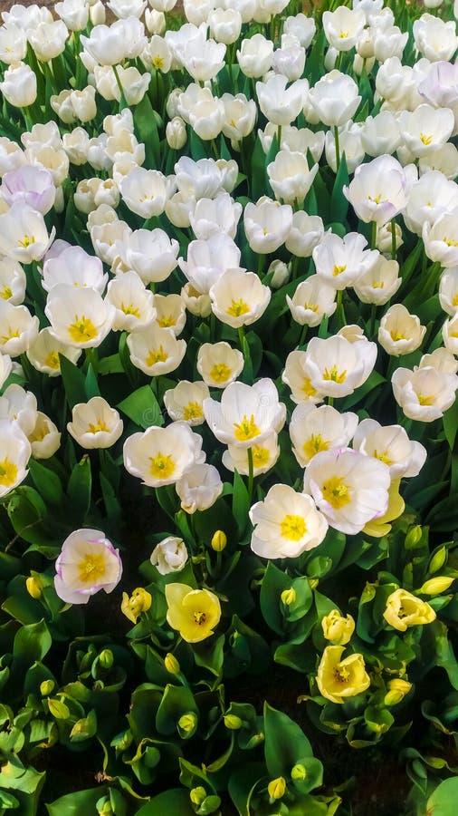 White tulips in a garden. Beautiful white tulips in a garden stock photos