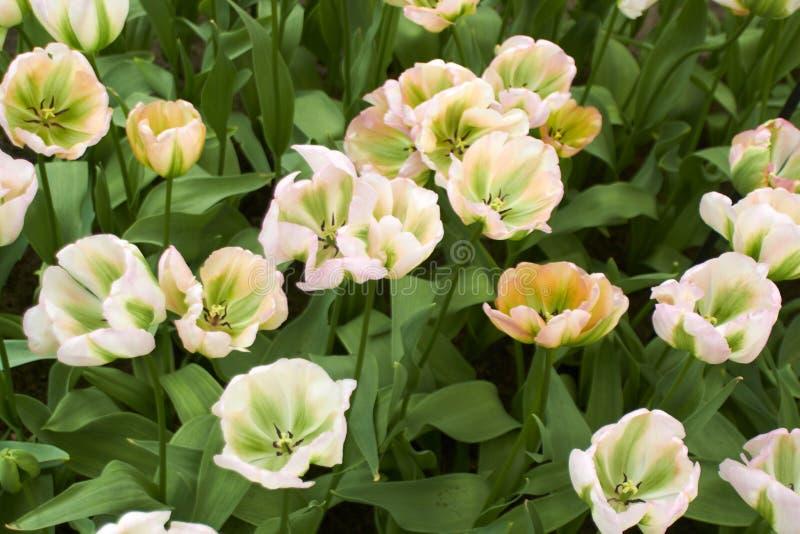 White Tulips in Keukenhof Flower Garden stock photo