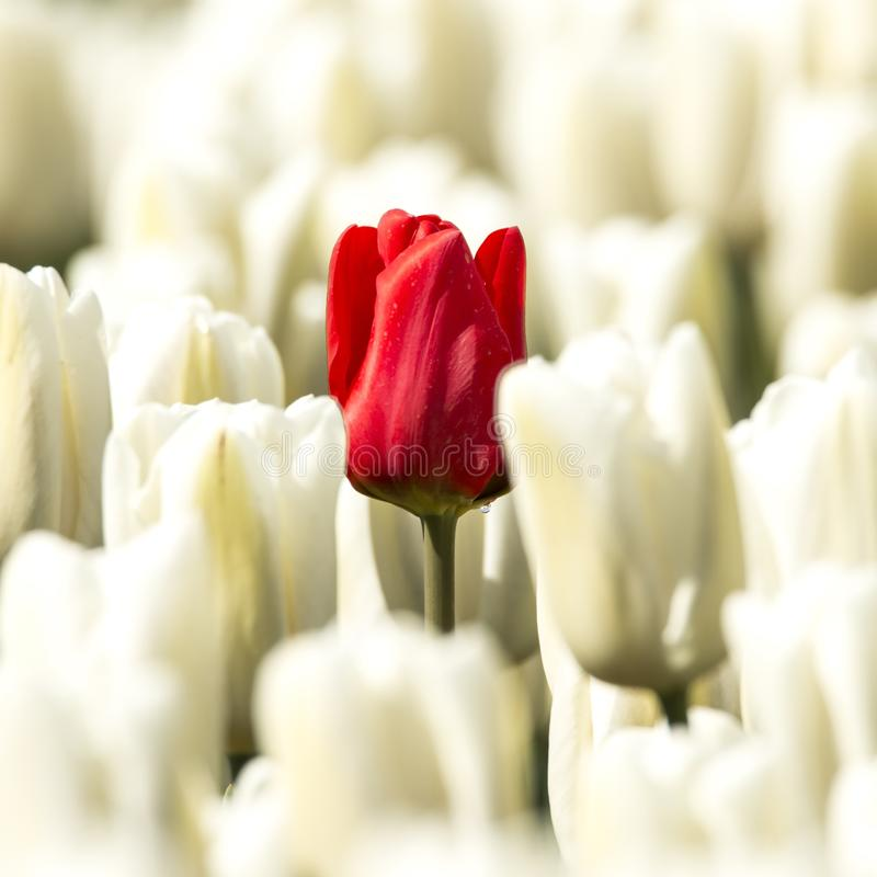 White tulips with in the middle one Red Tulip stock images