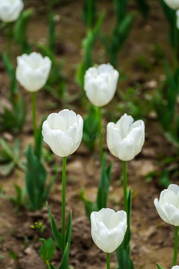 White tulips. royalty free stock image