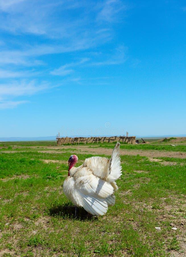 White turkey-cock royalty free stock photography