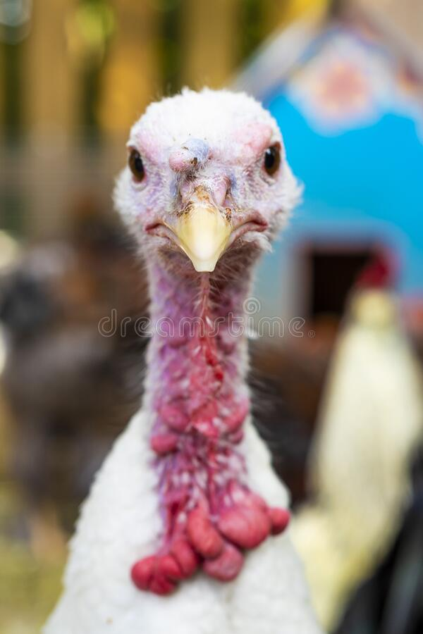 Free White Turkey Portrait Royalty Free Stock Photography - 170400657