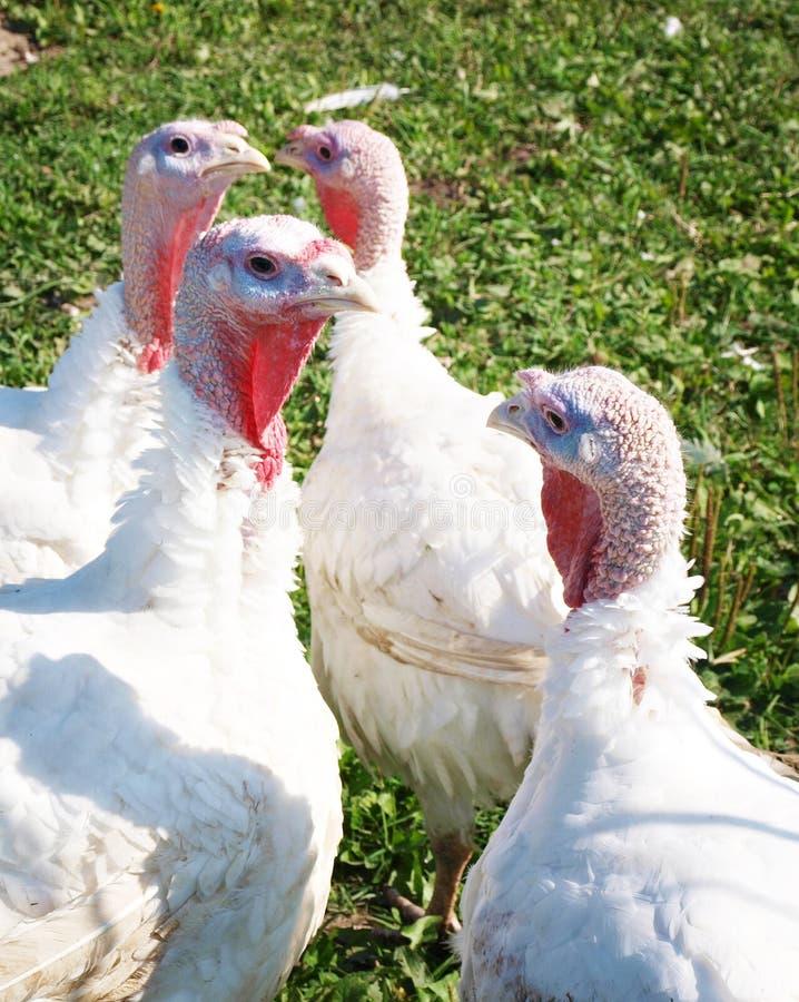 Free White Turkeys Royalty Free Stock Photo - 22230285
