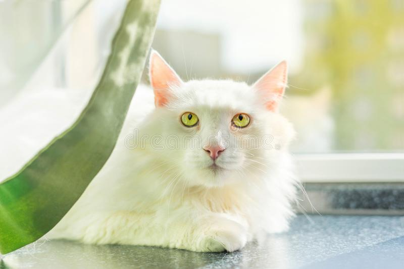 White Turkish Angora is a beautiful breed of a domestic cat. stock image