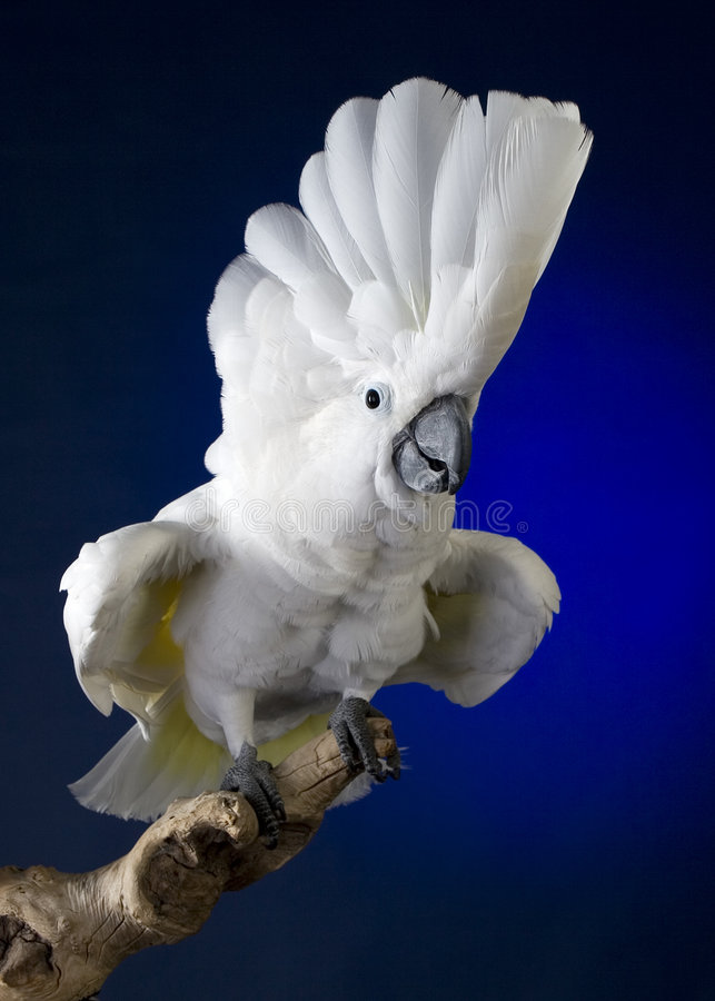 Free White Umbrella Cockatoo Royalty Free Stock Photo - 3615675