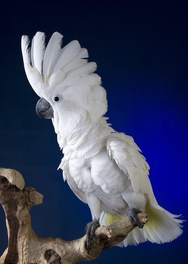 White Umbrella Cockatoo royalty free stock image