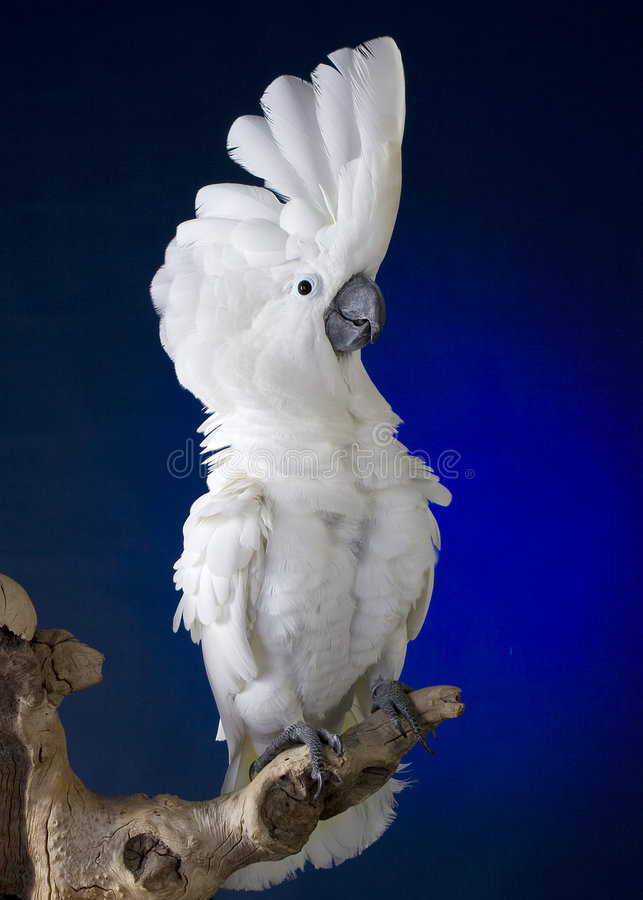 Free White Umbrella Cockatoo Royalty Free Stock Image - 3740156