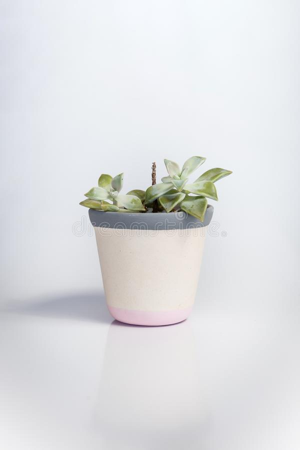 White vase with Crassula ovata, a species of succulent plant, on a white background. The vase has grey and pink stripes stock photos