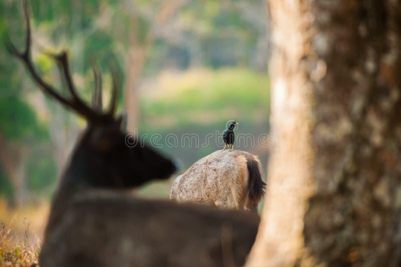 White-vented Myna and Sambar alerting to dangerous predators. Sambar in summer. White-vented Myna and Sambar alerting to dangerous predators. Khao Yai National royalty free stock photos