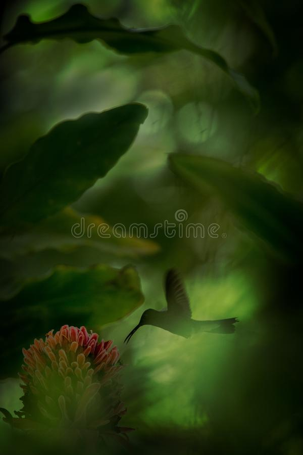 White-vented plumeleteer hovering next to red flower,tropical rainforest, Colombia, bird sucking nectar from blossom in garden,bea. Utiful hummingbird with stock photography