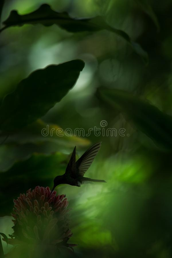 White-vented plumeleteer hovering next to red flower,tropical rainforest, Colombia, bird sucking nectar from blossom in garden,bea. Utiful hummingbird with royalty free stock image